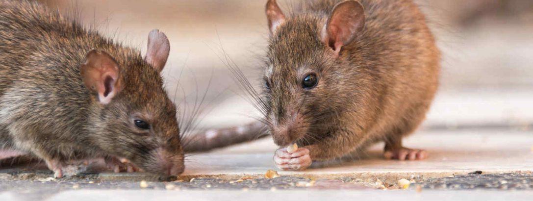 Control de plagas roedores