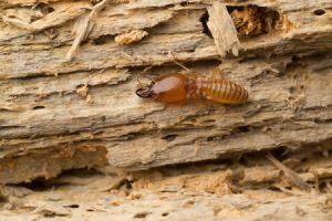 Tratamiento contra las termitas