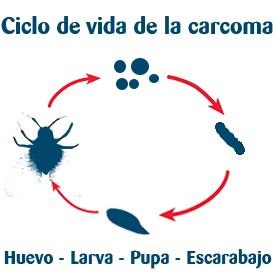 ciclo vida carcoma