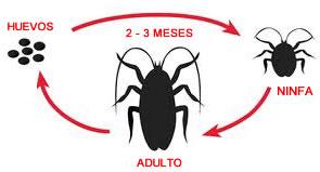 ciclo vida cucarachas