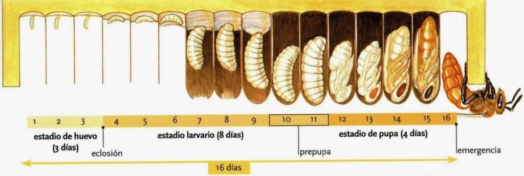 ciclo de vida de avispas