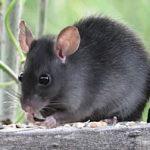 ratas en mallorca