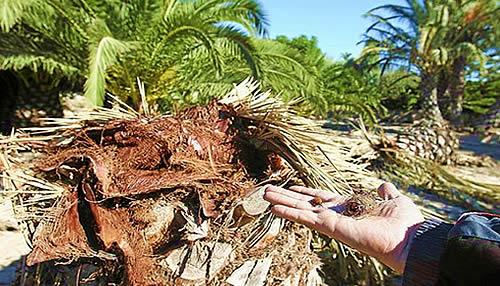 fitosanitario palmeras