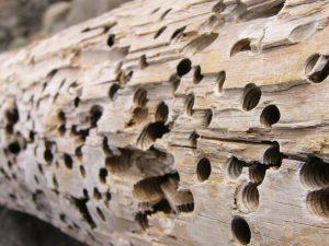 carcoma en la madera