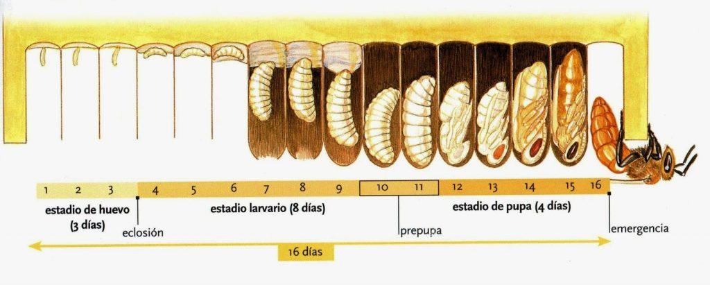 ciclo vida avispas
