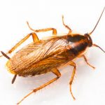 Cucaracha Alemana (Blatella germánica)
